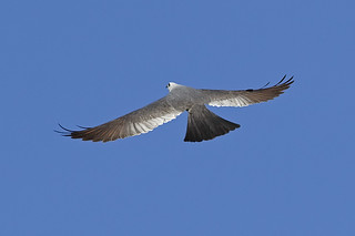 _MG_8046 Mississippi Kite | by Ned Harris