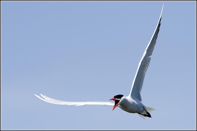 Tern (Caspian) - 0455