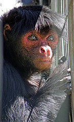 Red-faced Spider Monkey ... (Ateles paniscus) (145 x 240) Original=(1759 x 2909)
