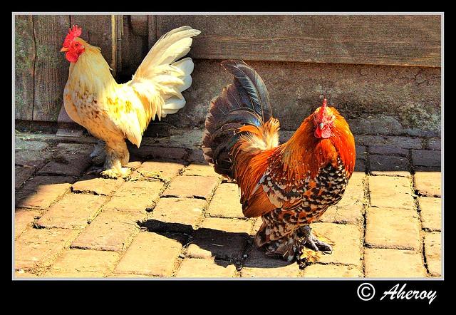 Chickens,Groningen stad,the Netherlands,Europe
