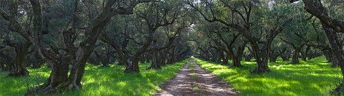 trees farm farming olive olives crops orchards chaffin argiculture sacramentovalleynortherncaliforniacalifornia