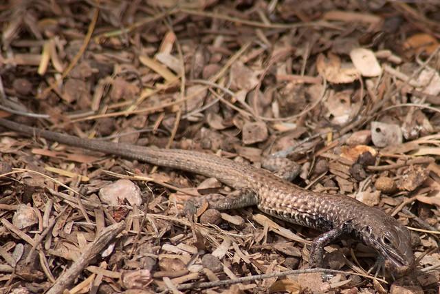 imgp0924 - Lizard
