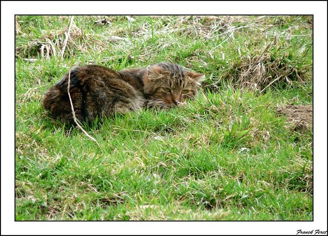chat forestier  ** sur le massif de bolandoz **