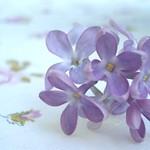 Lilac Sprig
