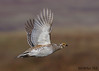 In-Flight Sharp-Tailed Grouse by Rob McKay Photography