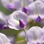 藤紫~wisteria purple