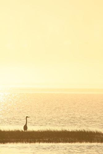 ocean wild bird silhouette oregon sunrise blueheron 100400mm nehalem nehalembaystatepark lensrentals
