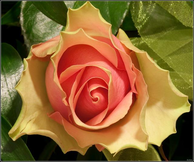 La Belle Rosa Macro