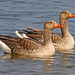 Greylag Goose - Photo (c) Frans Vandewalle, some rights reserved (CC BY-NC)
