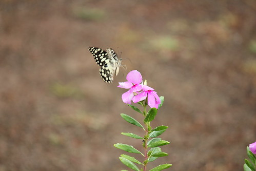 Lime Butterfly feeding | by Anurag Chugh