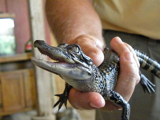 Baby Alligator | by Jill Stier