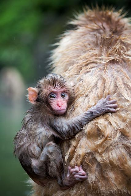 Snow Monkey Baby, Jigokudani
