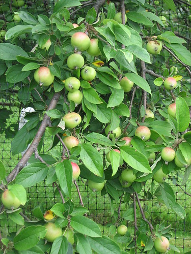 Apples pouring over garden fence. | by Cuyahoga jco