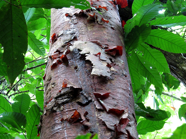 Tree with red bark