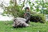 Black Swans (Cygnus atratus)(Juvenile) by Gerald (Wayne) Prout