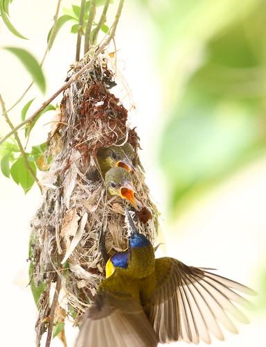 olivebackedsunbird cinnyrisjugularis
