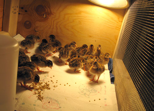 Guinea Fowl Keets At 4 Days Old Pearl Grey Guinea Fowl Kee