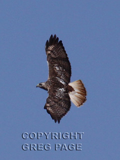 Krider's Hawk | by gregpage1465