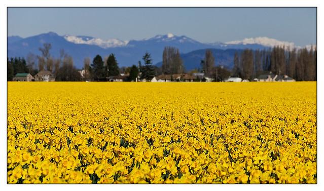 Daffodils & Cascades