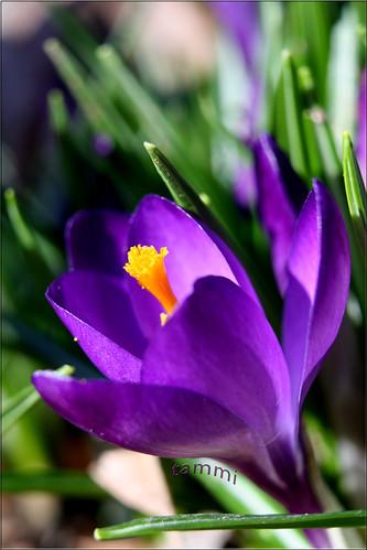county york flowers winter flower canon eos spring purple pennsylvania january first tammy crocus 2010 tammi explorewinnersoftheworld awesomeblossoms thebestofmimamorsgroups strengthfromabove macroinstyle