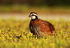 northern bobwhite - 107/365 by p simmons