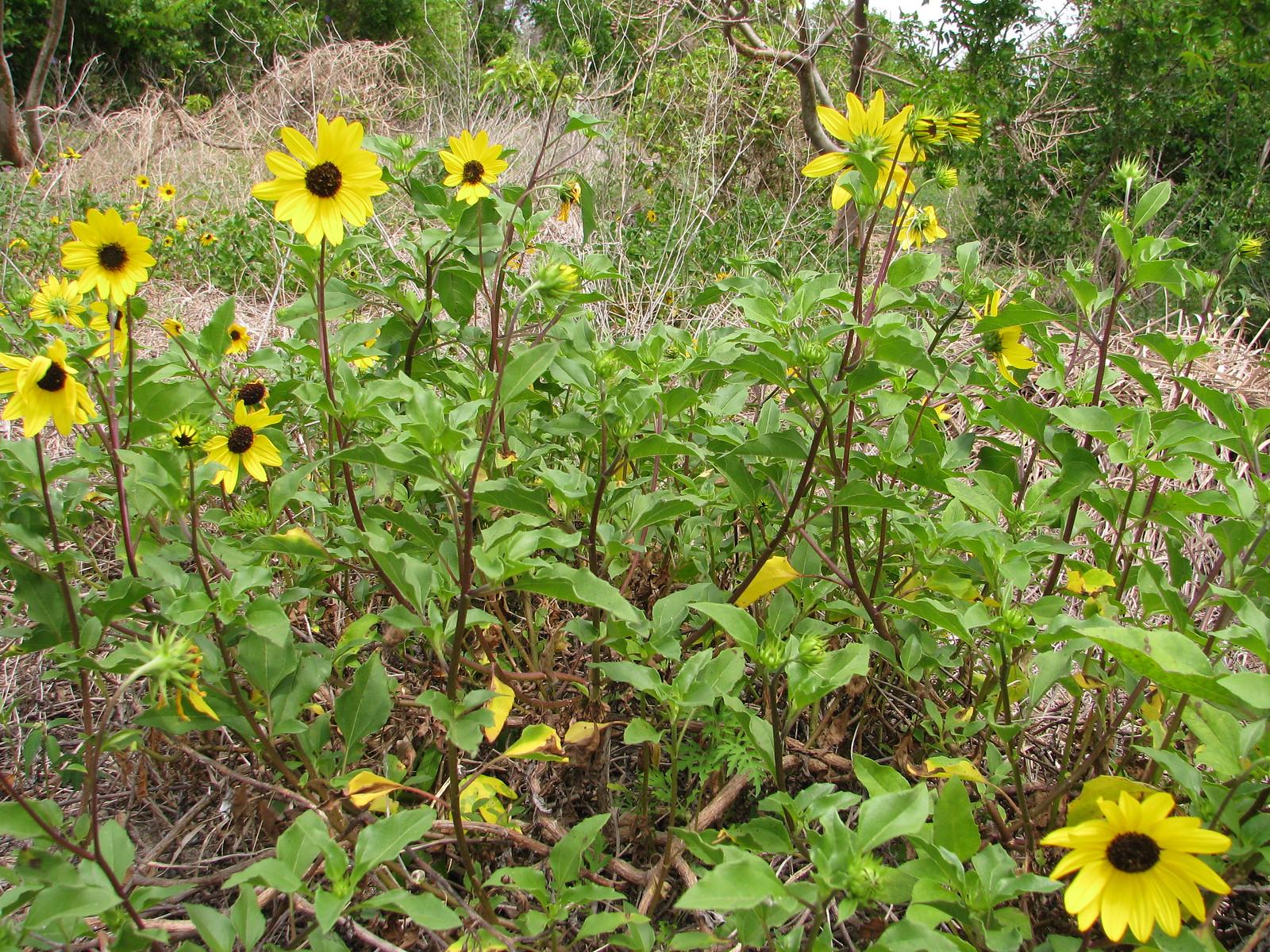 Beach Sunflower (Helianthus debilis)