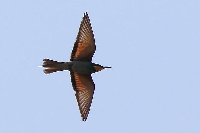 European Bee-eater (Merops apiaster) in flight