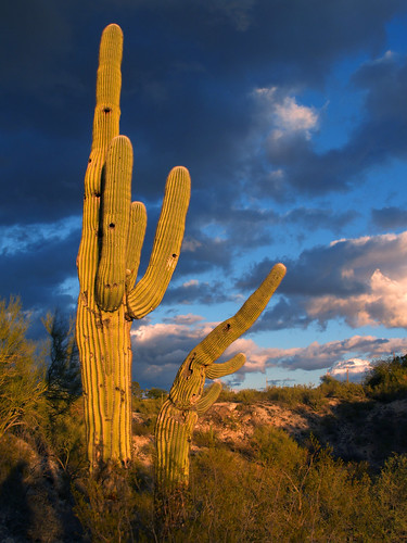 pictures winter sunset cactus sky sun sunlight foothills southwest nature colors oneaday clouds cacti river outside photography photo oracle cool warm day desert tucson cloudy photos pics outdoor afterthestorm picture az pic calm photographs photograph photoaday digitalcamera uncool saguaro isolated sonorandesert stormyweather pictureaday tucsonaz sidearm tucsonarizona saguarocactus arizonadesert southernarizona carnegieagigantea project365 desiertodearizona кактус пустыня аризона cactussunset saguarocactussunset saguarosunset arizonapassages 3652010 365the2010edition 012410