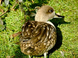 Marbled Teal | by P. Stubbs photo