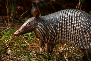 Armadillo | by LOLren