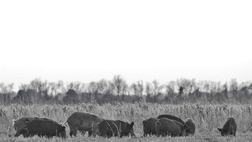 Family of Feral Hogs | by Life Lenses
