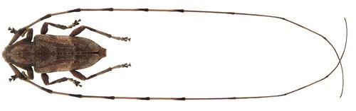 Acanthocinus aedilis (Linné, 1758) male | by urjsa