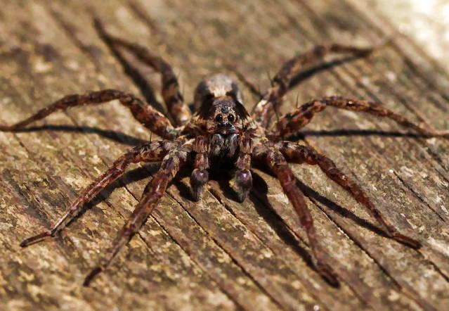 Garden Spider...