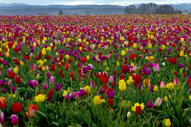 Wooden Shoes ~ run aground in a sea of tulips