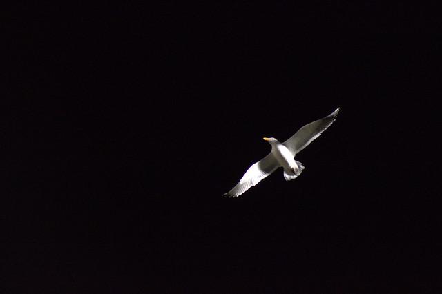 seagull at night