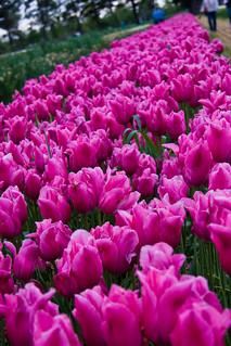 Veldheer's Tulip Farm. Holland Michigan-31 | by mooshinindy