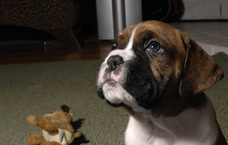 Boxer Puppy 5 | by MythicSeabass