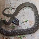 Herald Snake - Crotaphopeltis hotamboeia 1e