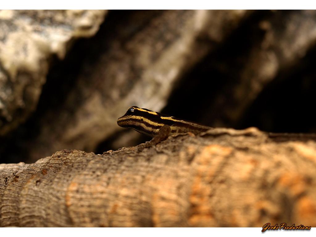 Lygodactylus kimhowelli