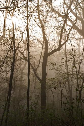 trees nature fog sunrise