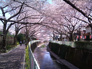 My phone camera renders sakura much more pink... | by kalleboo