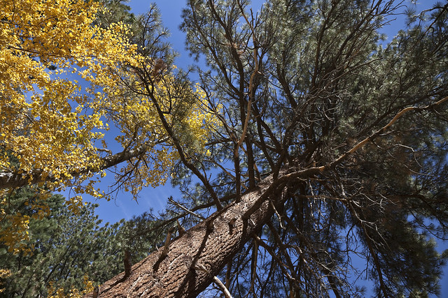 Jeffrey Pine in Inyo National Forest