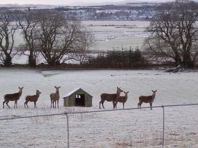 Deer, Kintore,  Aberdeenshire, January 2008