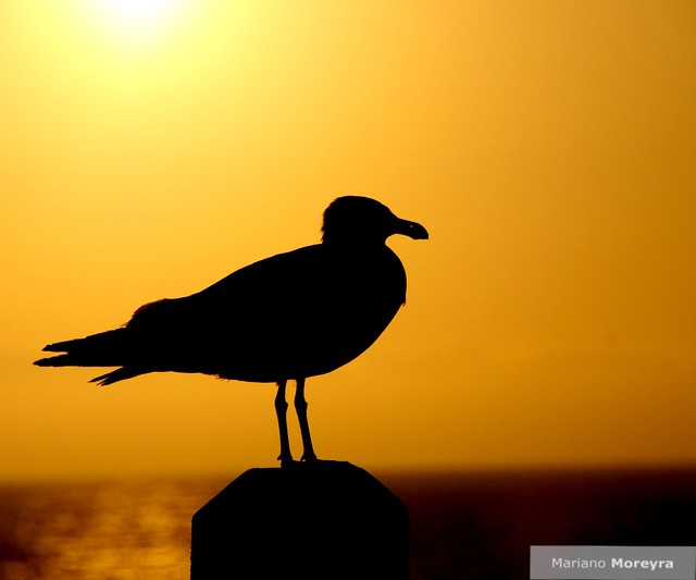 Juan Salvador Gaviota Jonathan Livingston Seagull Flickr