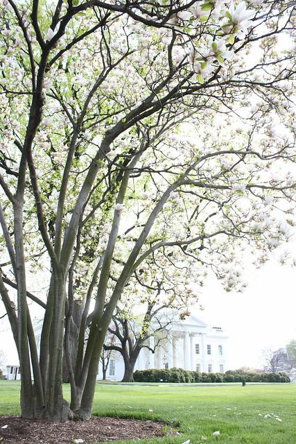 Flowering white magnolia tree on the front lawn of The White House Washington DC USA