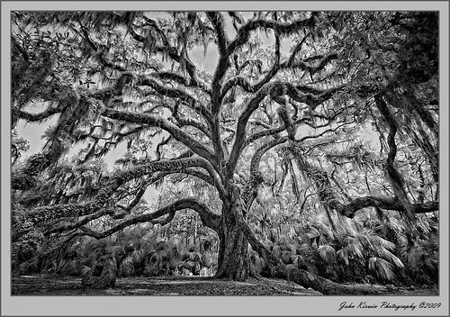 tree blackwhite moody florida sinister gothic nikond100 infrared historical legacy supershot tomokastatepark flickraward thesecretlifeoftrees daarklands mygearandme mygearandmepremium