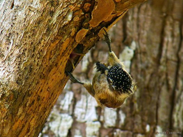 Pica-Pau-Anão-da-Caatinga fêmea, Ochraceous Piculet female (Picumnus limae)