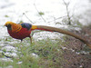 Golden Pheasant, Wolferton (Norfolk), 12-Jan-10 by Dave Appleton