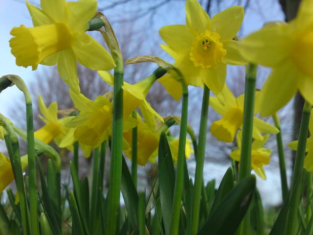 dsc00136 - Daffodils