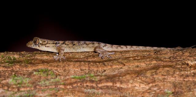 Geckolepis maculata